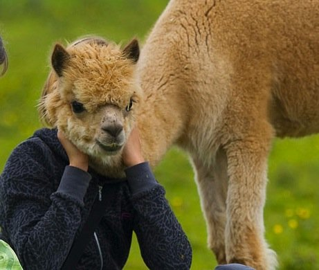 the girl's face is covered by an alpaca
