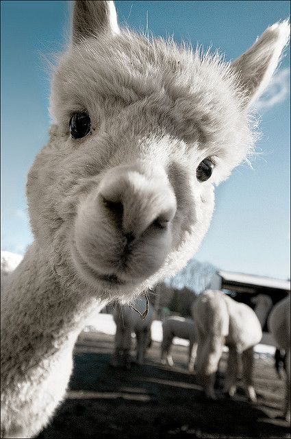 image of a cute alpaca